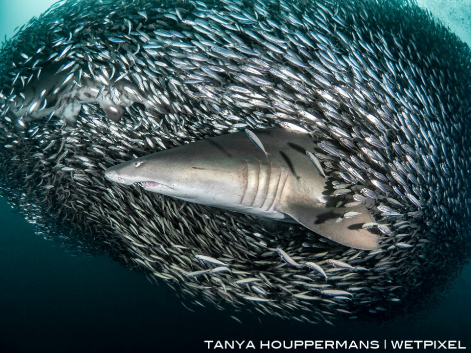 Schools of small bait fish can pack themselves so tightly around the sand tigers that the sharks are often hidden. In this image a second shark is barely visible in the upper left corner.
