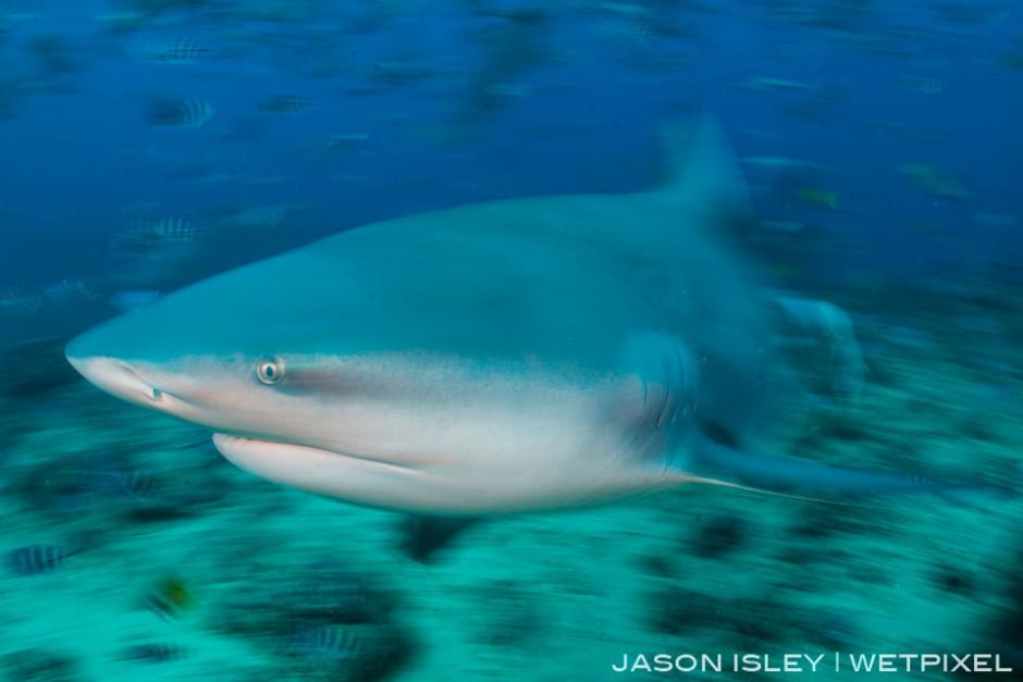 Slow shutter blur used to illustrate the speed of the bull shark, Fiji. (nikon D800, 28-70mm, nauticam WAP port/lens)