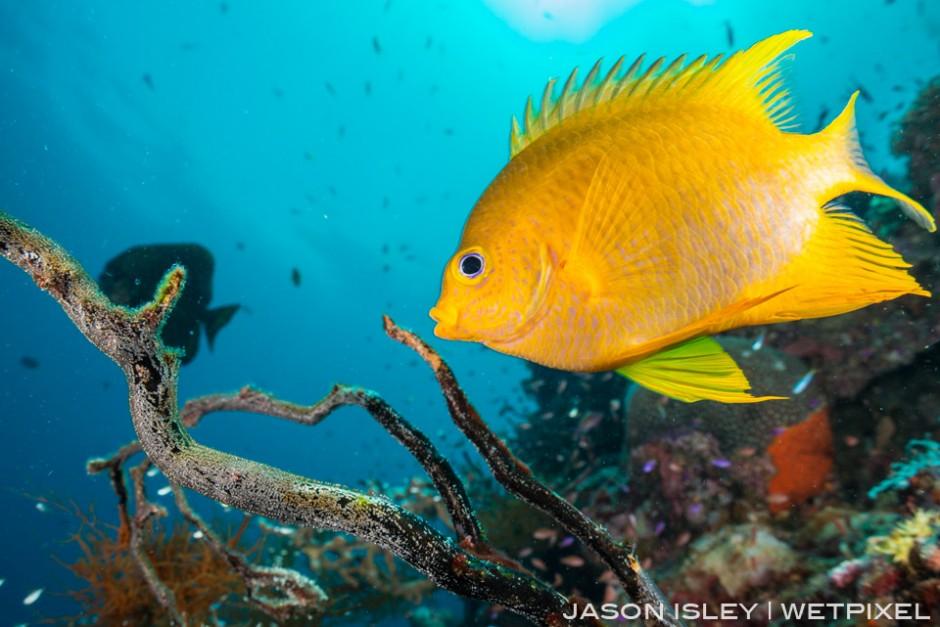 Golden damselfish caring for its eggs on an old gorgonian sea fan. (nikon D800, 28mm, nauticam WAP port/lens)
