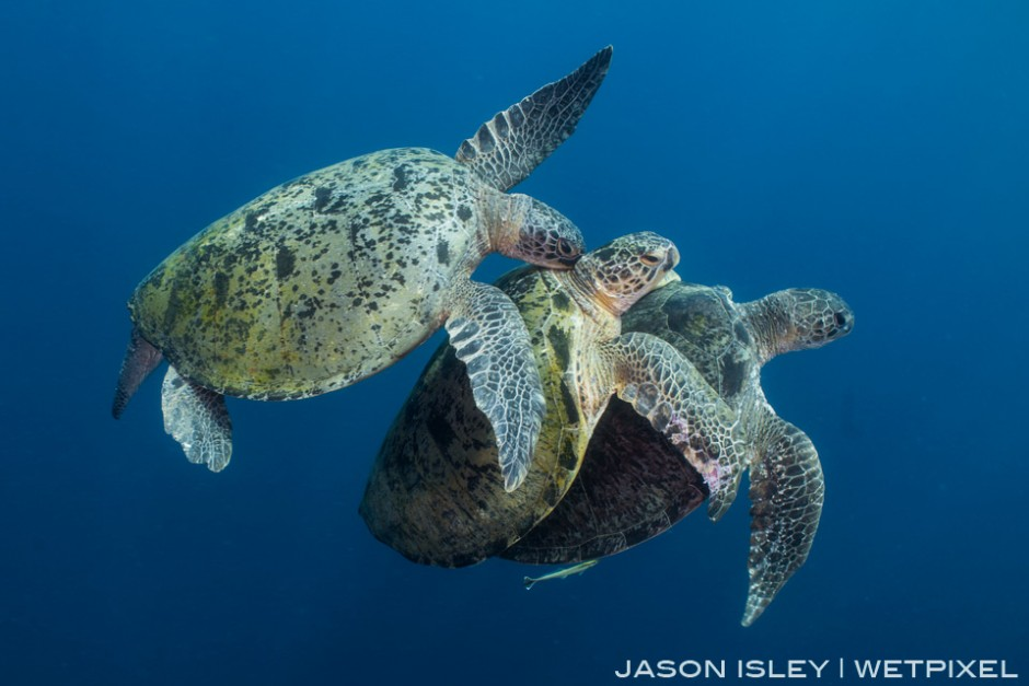 A male green turtle hassles and bites the second male who is locked on with the female. (nikon D800, 28mm, nauticam WAP port/lens)