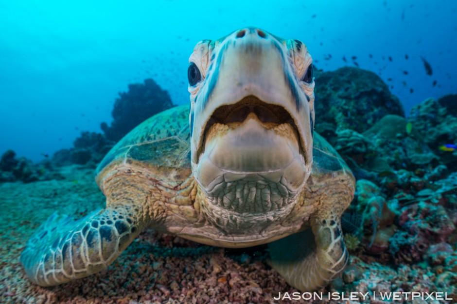 Close up portrait of green turtle at Sipadan. (nikon D800, 28mm, nauticam WAP port/lens)