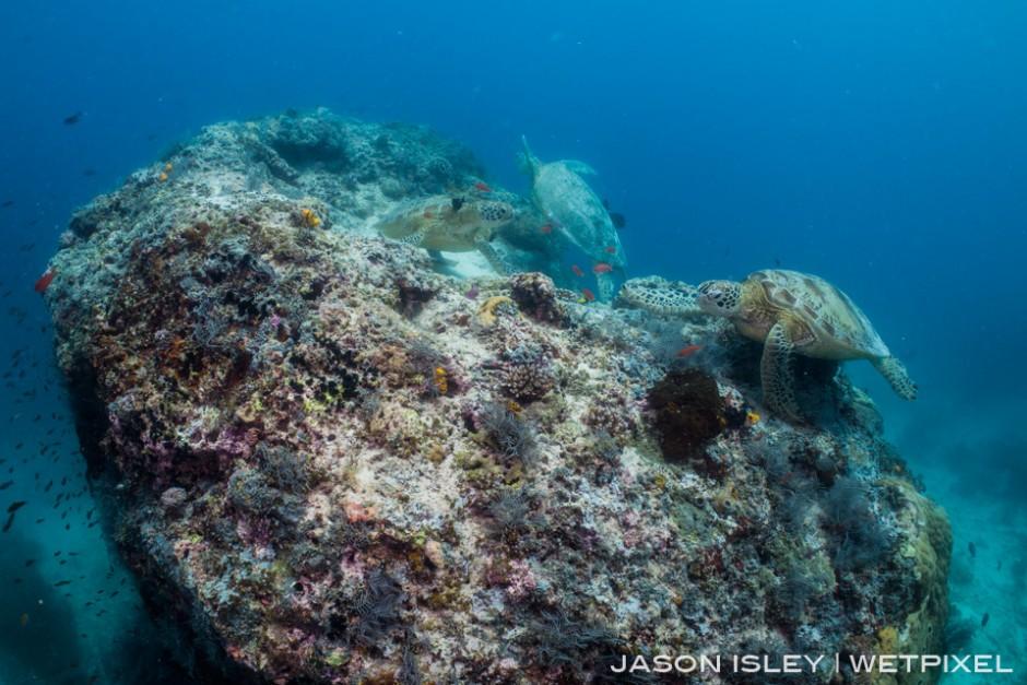 Green turtles battle for prime cleaning spot on 'Turtle Rock' at Barracuda Point, Sipadan. (nikon D800, 28mm, nauticam WAP port/lens)