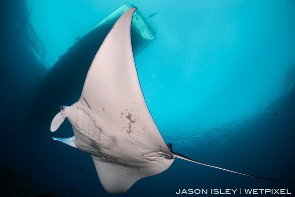 Reef manta cruises below the live-aboard  in Tubbataha. (nikon D800, 28-70mm, nauticam WAP port/lens)