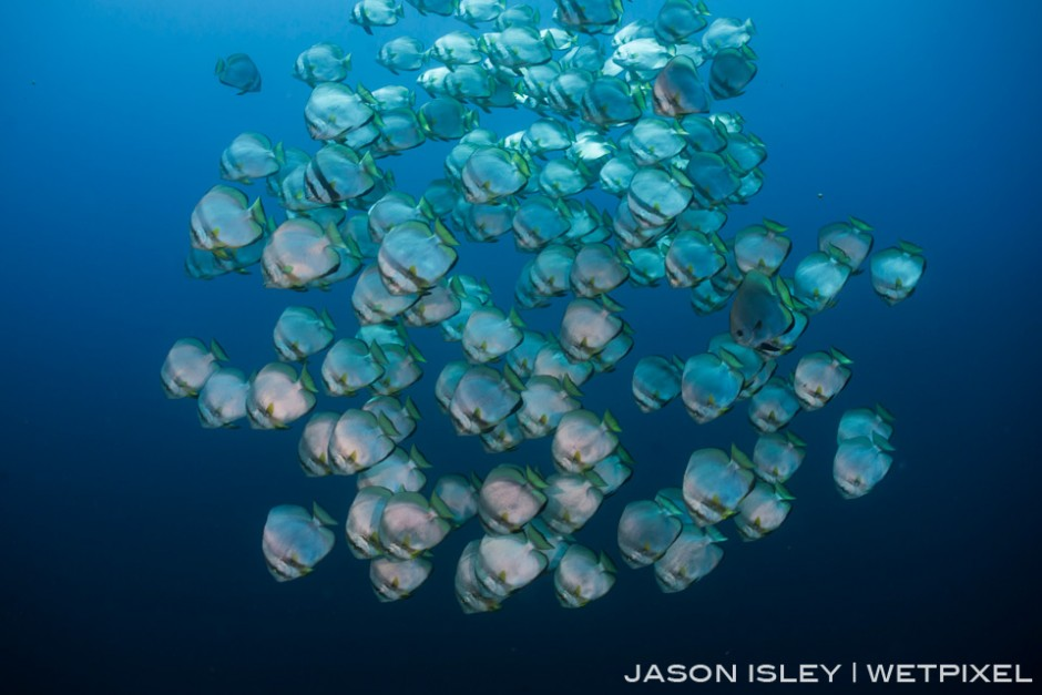 A school of batfish cruise along the wall, Tubbataha. (nikon D800, 28-70mm, nauticam WAP port/lens)