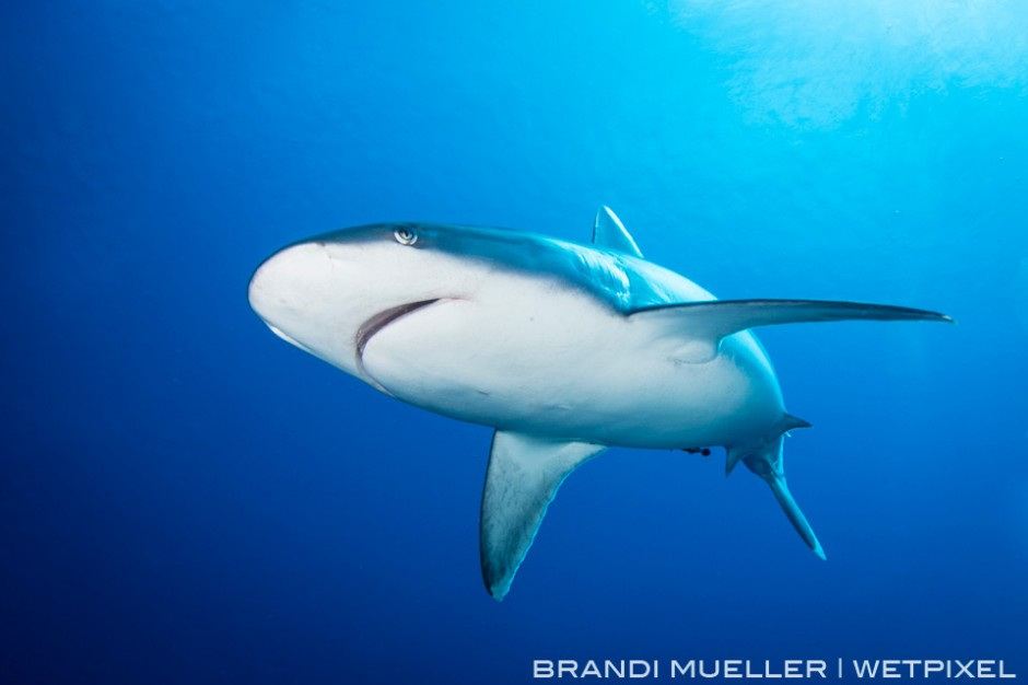 Silver tip shark on the outer reef of Chuuk.