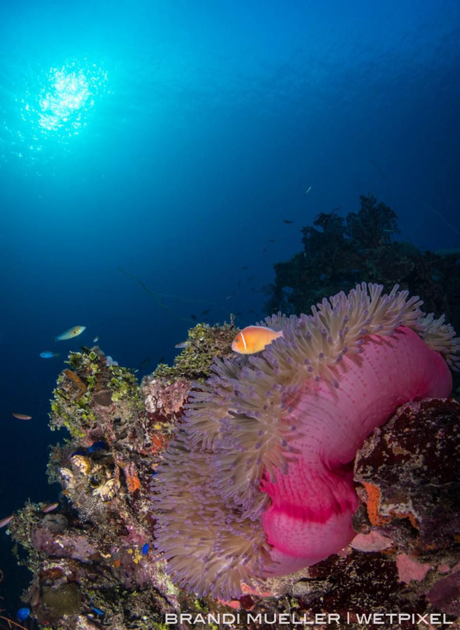 Anemone on the Shinkoku Maru wreck in Chuuk (Truk Lagoon).