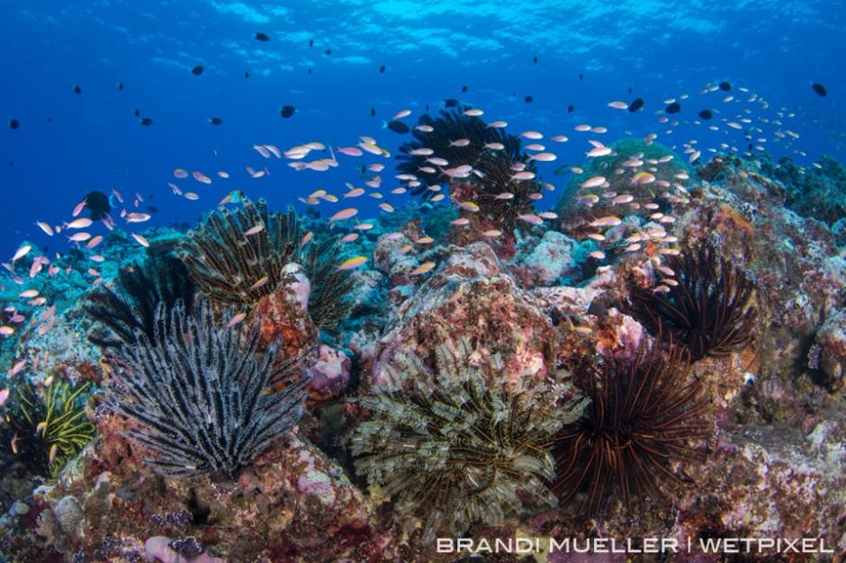 Crinoids and anthias on the reef.