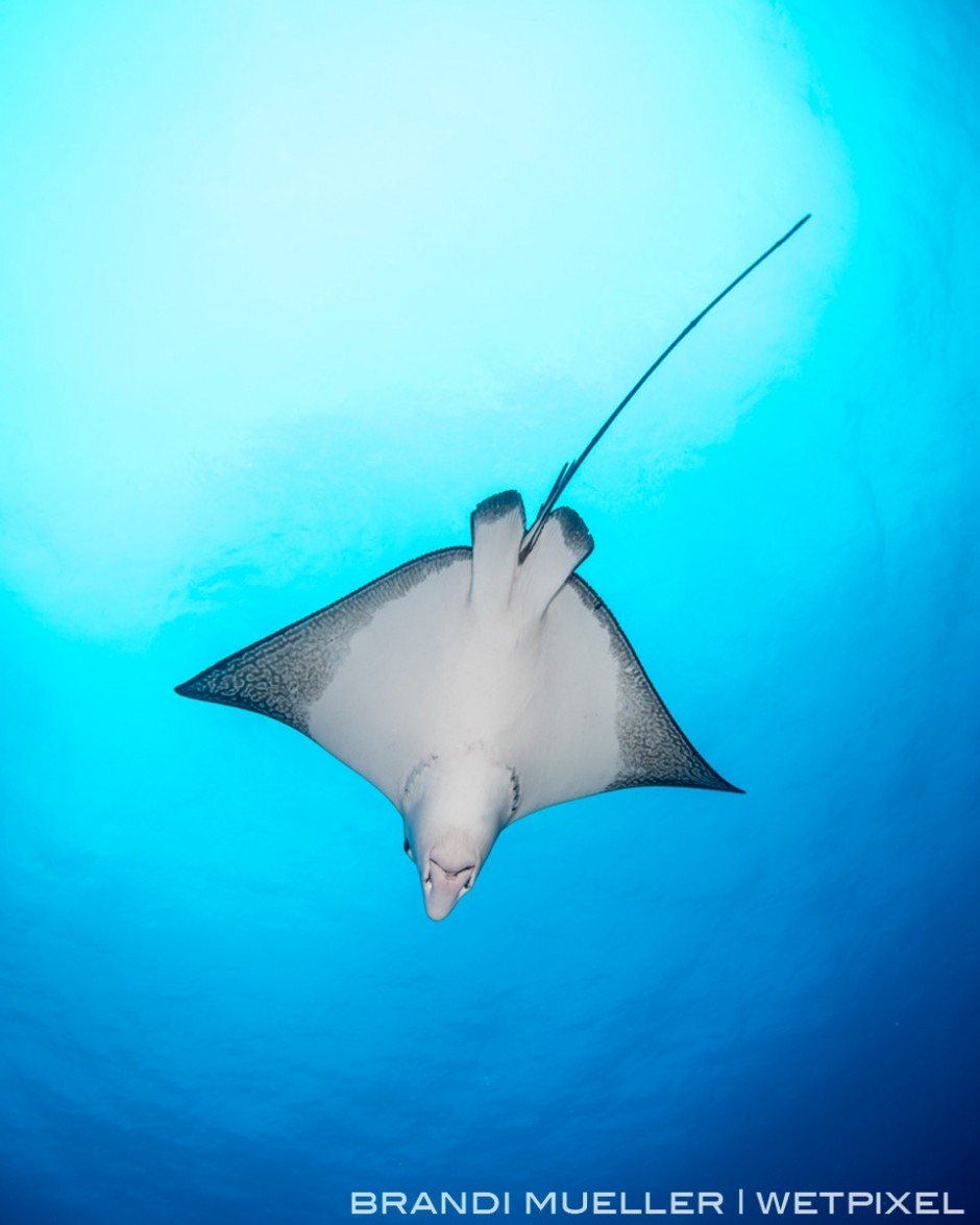 Spotted eagle ray on the reef of Chuuk. We also commonly see them on the wrecks inside the lagoon too.