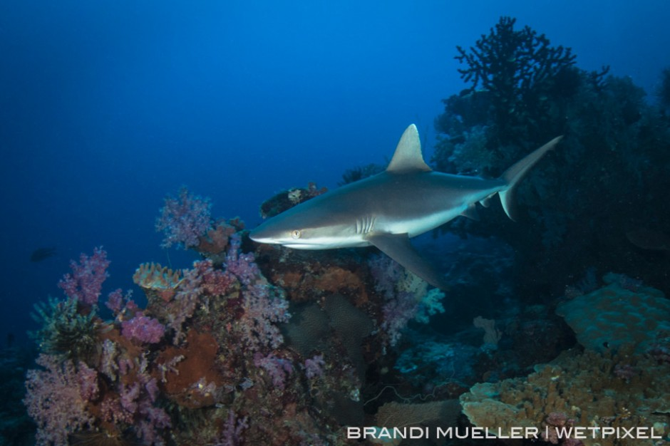 Grey Reef shark on the reef with soft corals behind on the reef of Chuuk, Micronesia.