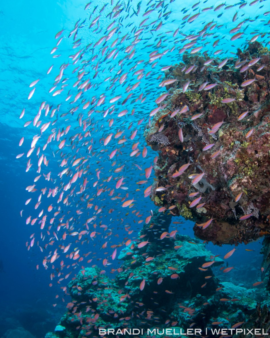 A mess of anthias around a coral head on Chuuk's reef.