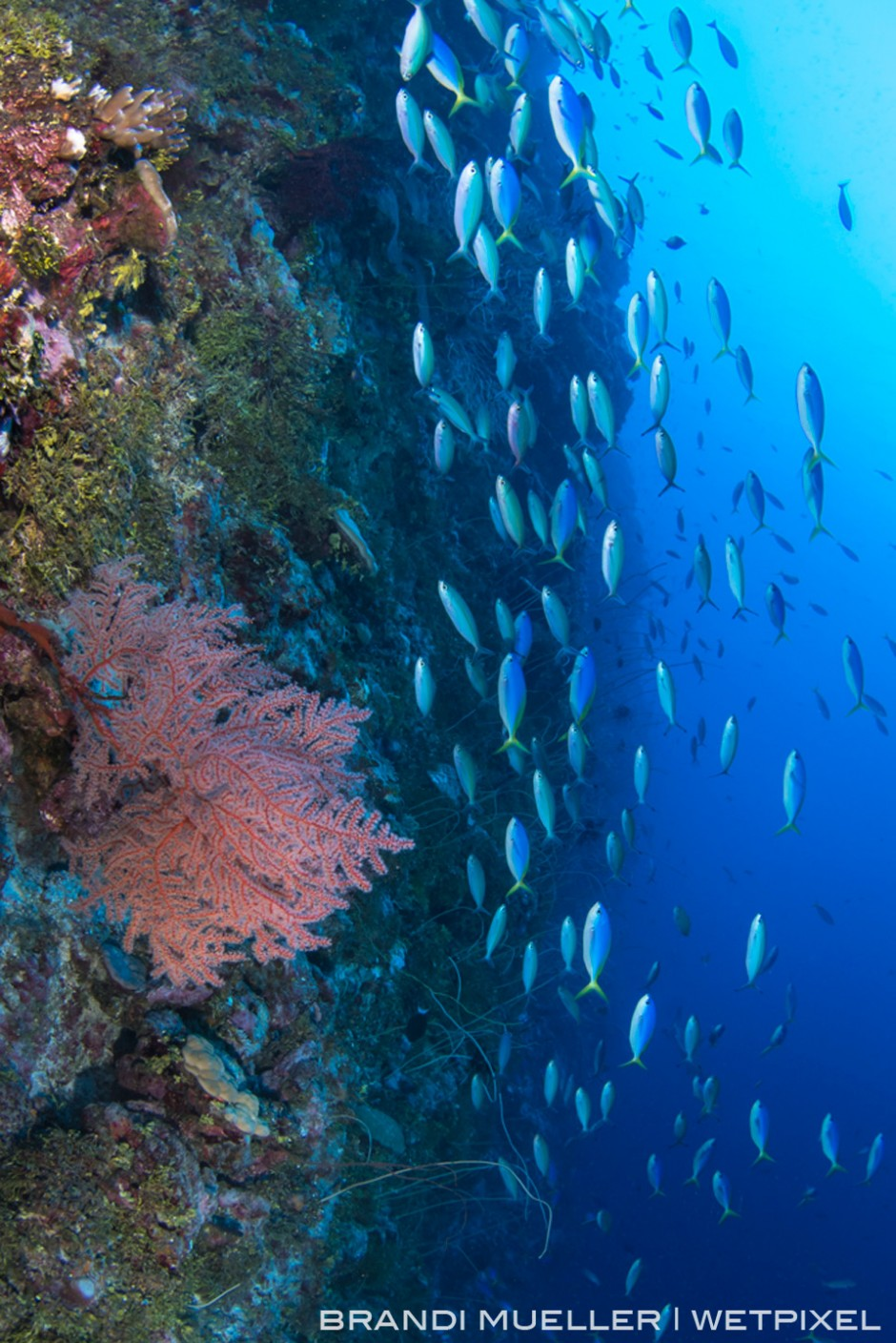 School of fusiliers on a wall dive on the outer reef of Chuuk.