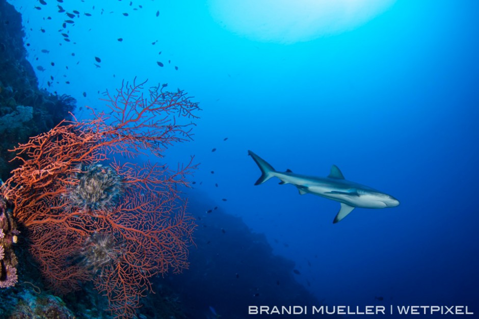 Grey Reef shark on a wall dive on the outer Reef of Chuuk with a sea fan.