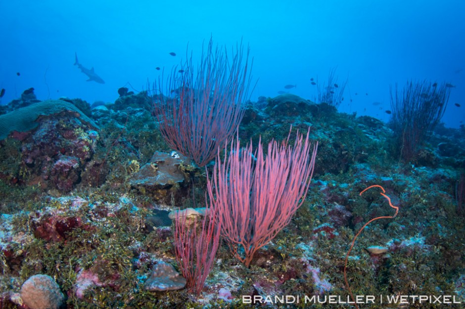 Grey reef shark behind sea whip coral (*Ellisella sp.*) on the outer reef, Chuuk, FSM