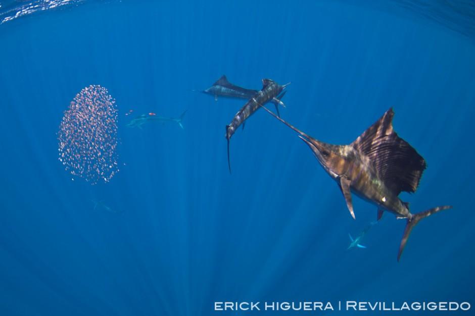 Sailfish *Iistiophorus platypterus*