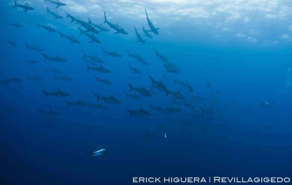 Silky Sharks *Carcharhinus falciformis* Roca Partida