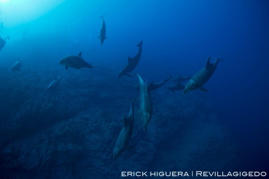 Bottlenose Dolphins *Tursiops truncatus* Socorro