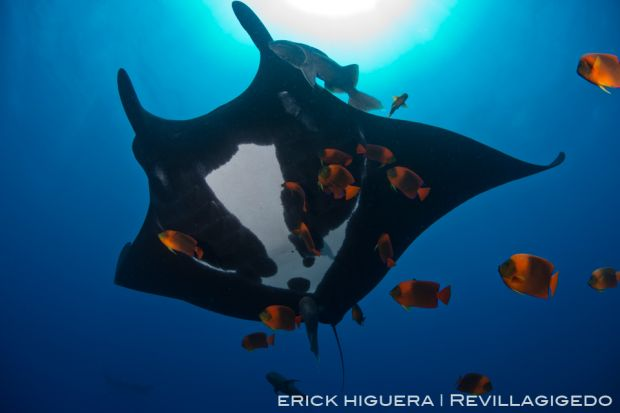 Erick higuera rev 2708 pacific-giant-manta manta-birostris socorro,-revillagigedo