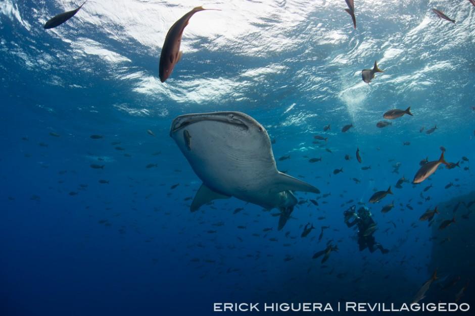 Whale Shark *Rhincodon typus* San Benedicto