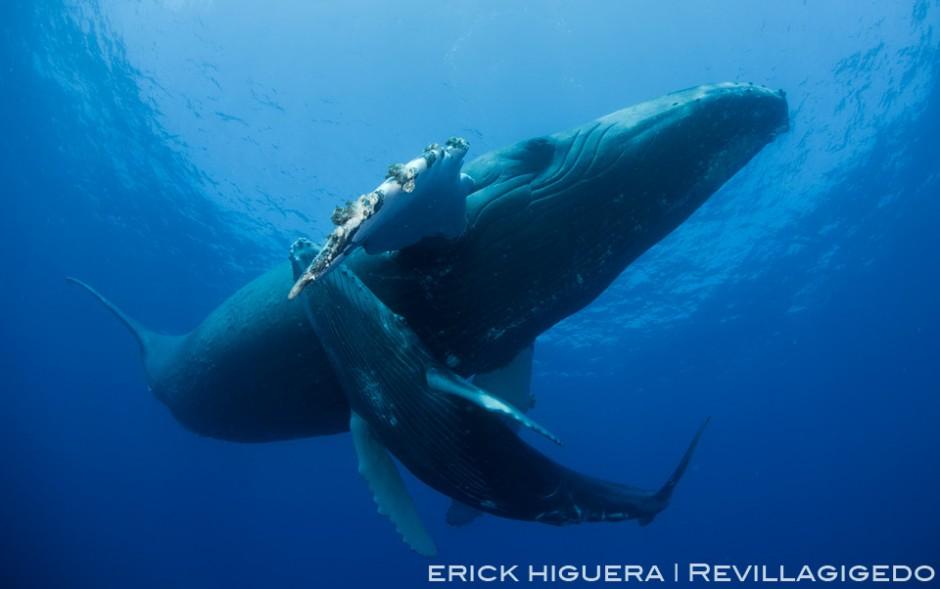 Humpback Whales *Megaptera novaeangliae* Roca Partida