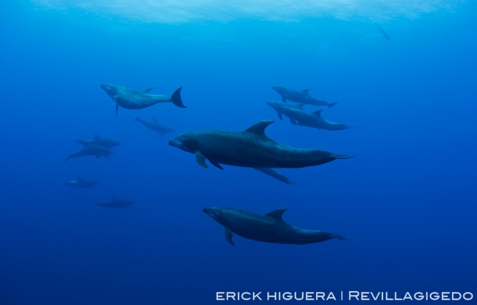 Bottlenose Dolphins *Tursiops truncatus* Roca Partida