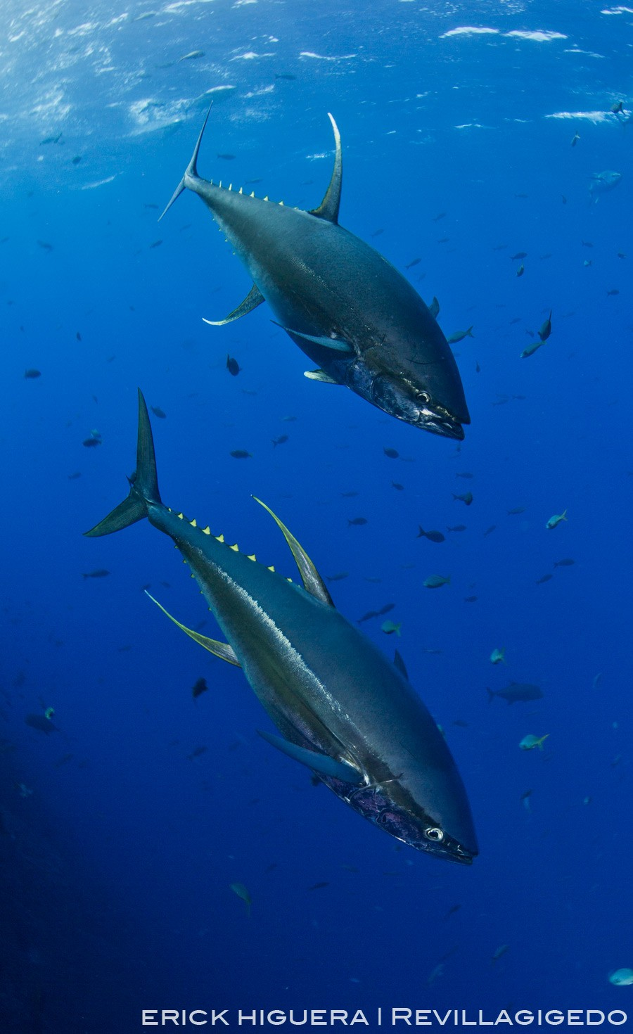 Yellowfin Tunas *Thunnus albacares* Roca Partida