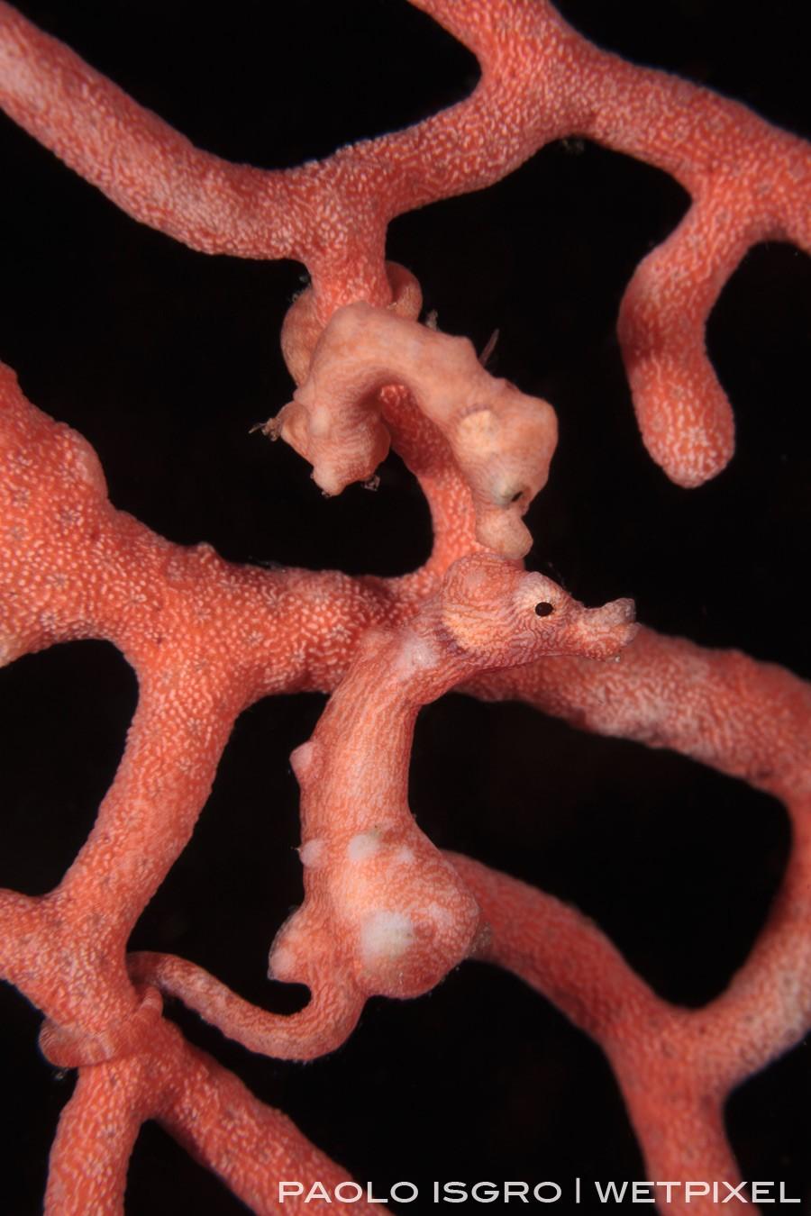 A Denise pygmy seahorse couple ... pure love!