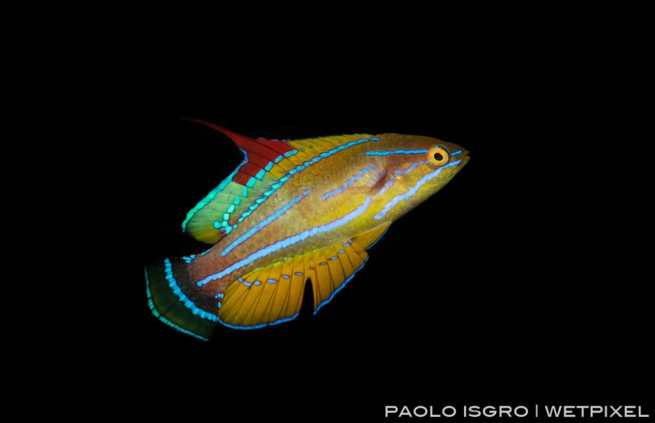 A fast moving flasher wrasse - a real challenging shot