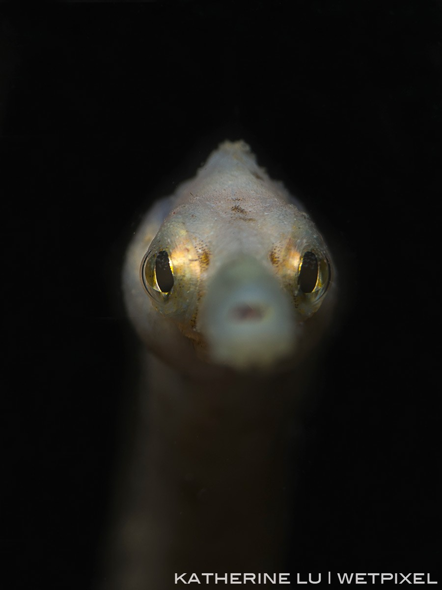 Bent stick pipefish