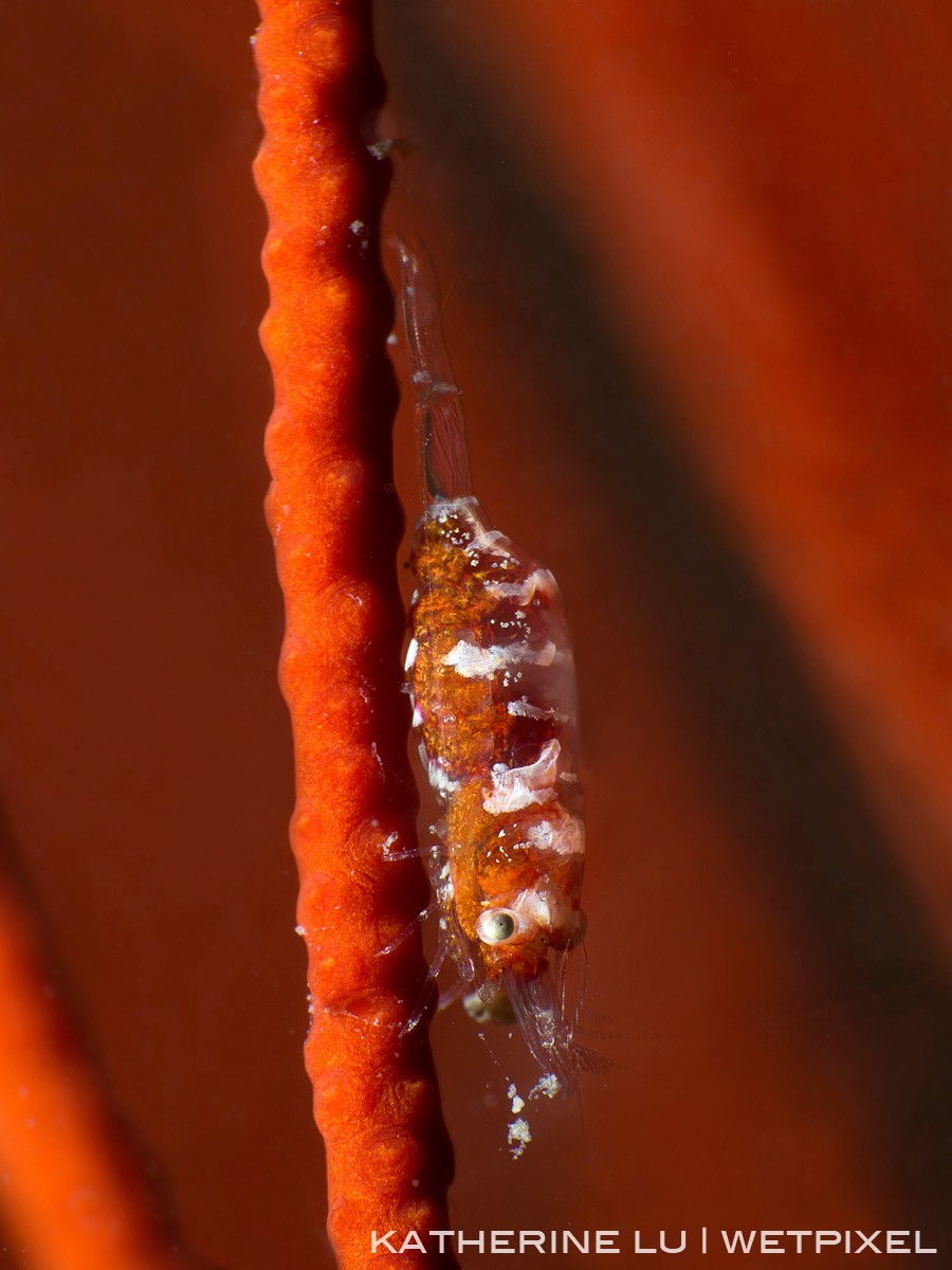 Gorgonian shrimp *Hamodactylus sp.*