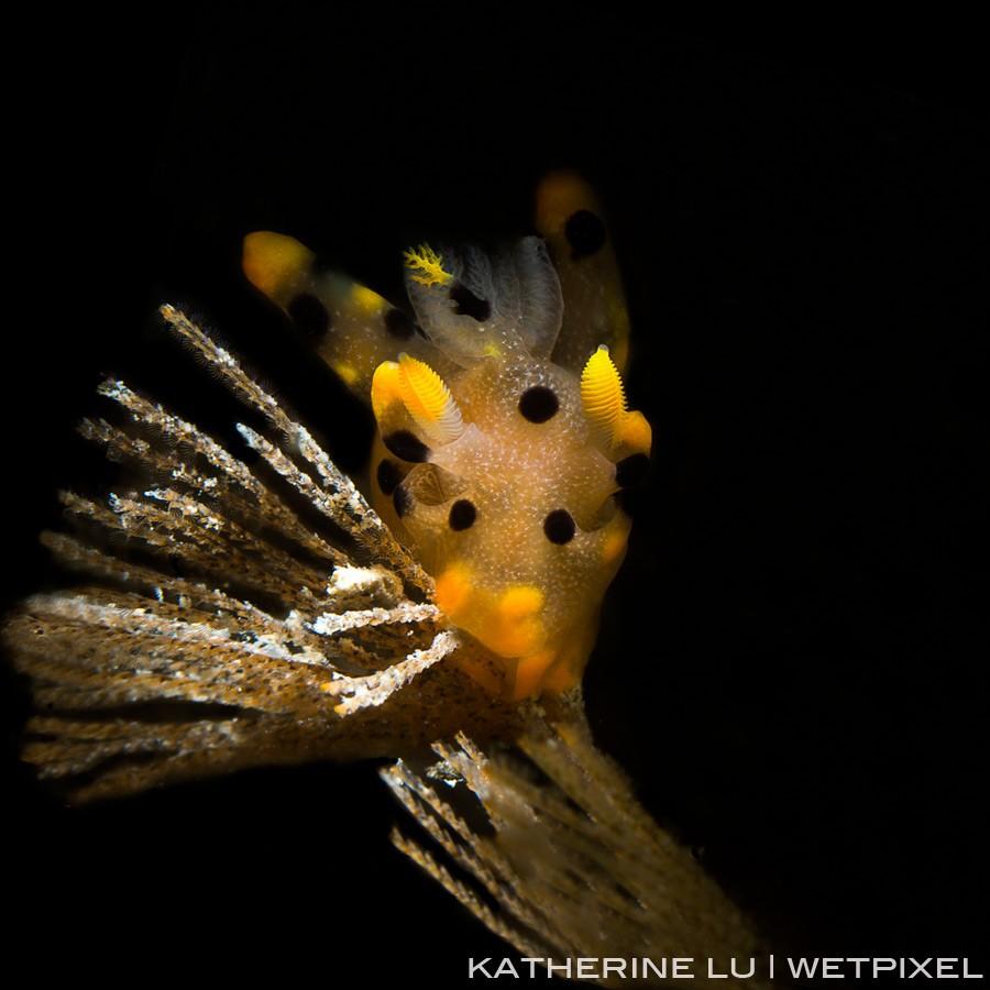Pikachu of thecacera sp.