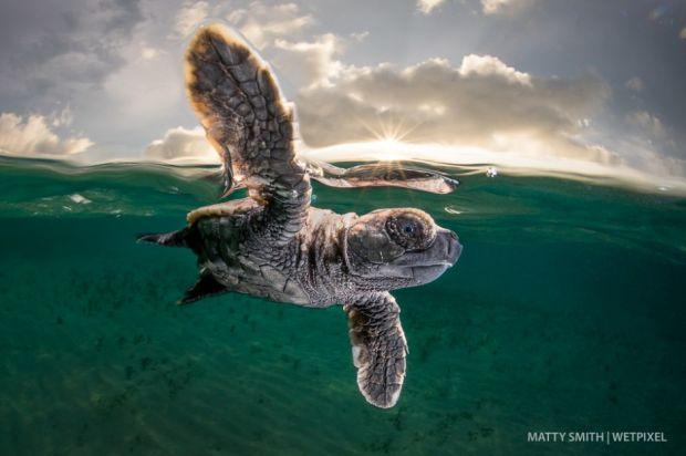 Hawksbill turtle hatchling 0055  large