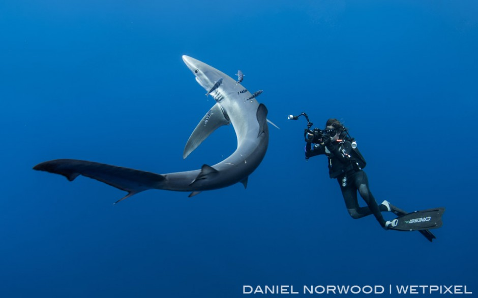 An underwater photographer enjoys a close encounter with a large blue shark (*Prionace glauca*)