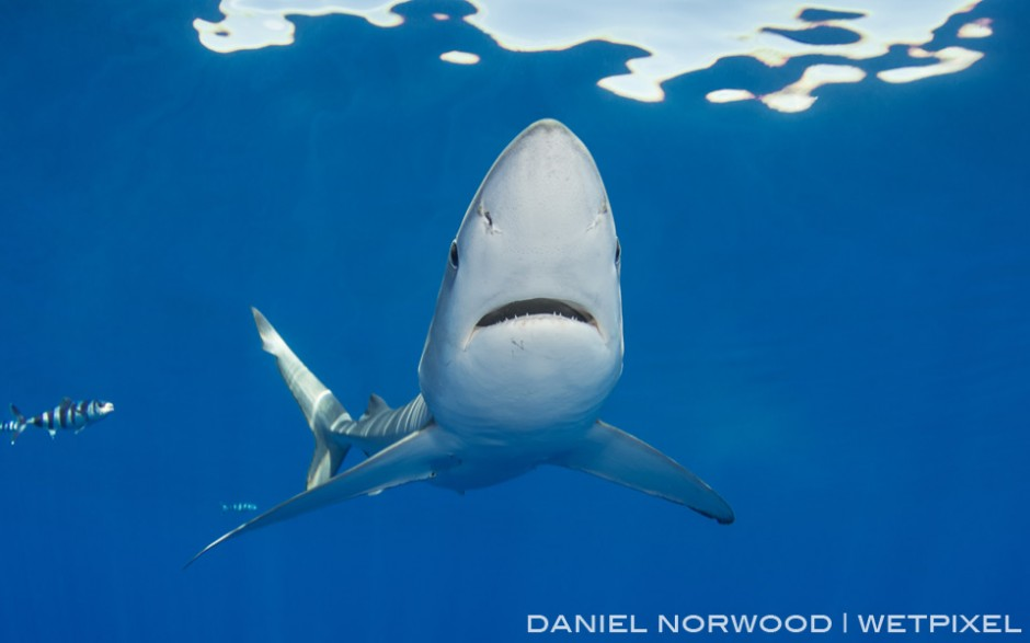 A nice perspective of the long pointed snout of a blue shark as it passes overhead.