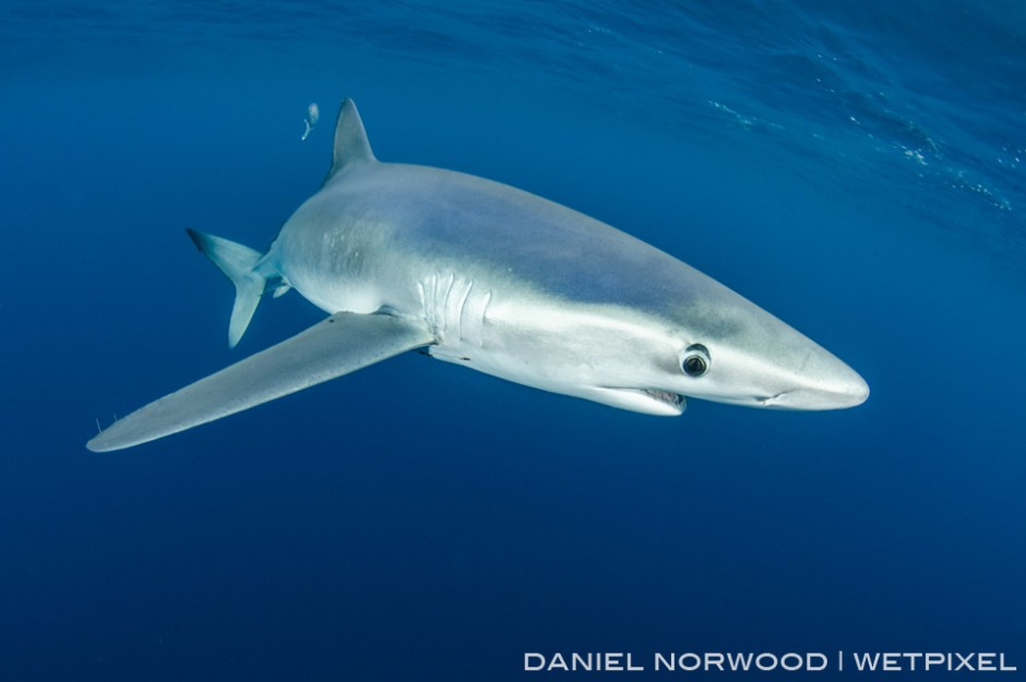Blue sharks have long pectoral fins, perfect for long distance travel