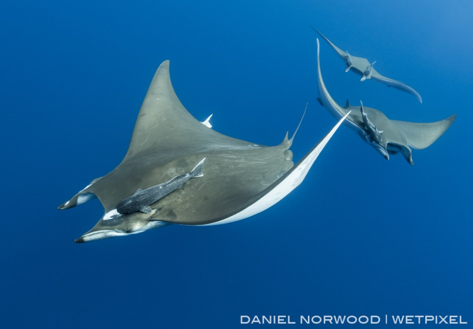 A train of Giant devil rays approach from the depths below at Princess Alice Bank
