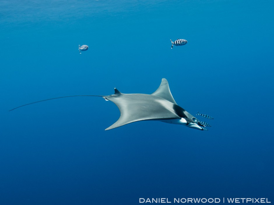 This smaller and different species of mobula ray (*Mobula mobular*) appeared one day during a shark dive!
