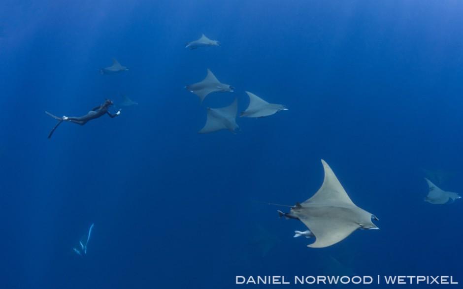 A free diver films a large school giant mobula rays (*Mobula tarapacana*)