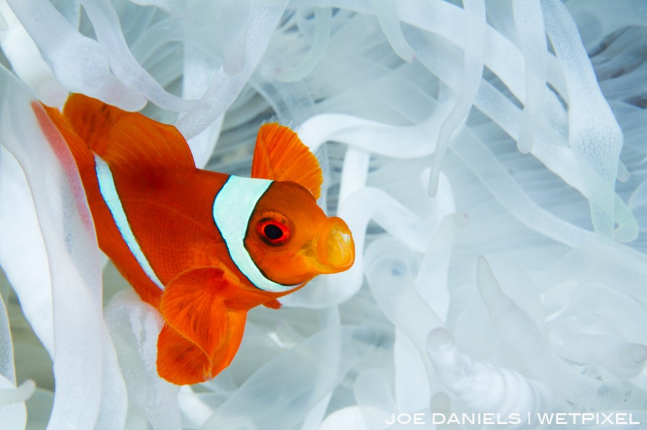 A Spine Cheek Anemone fish nestled in its host anemone.