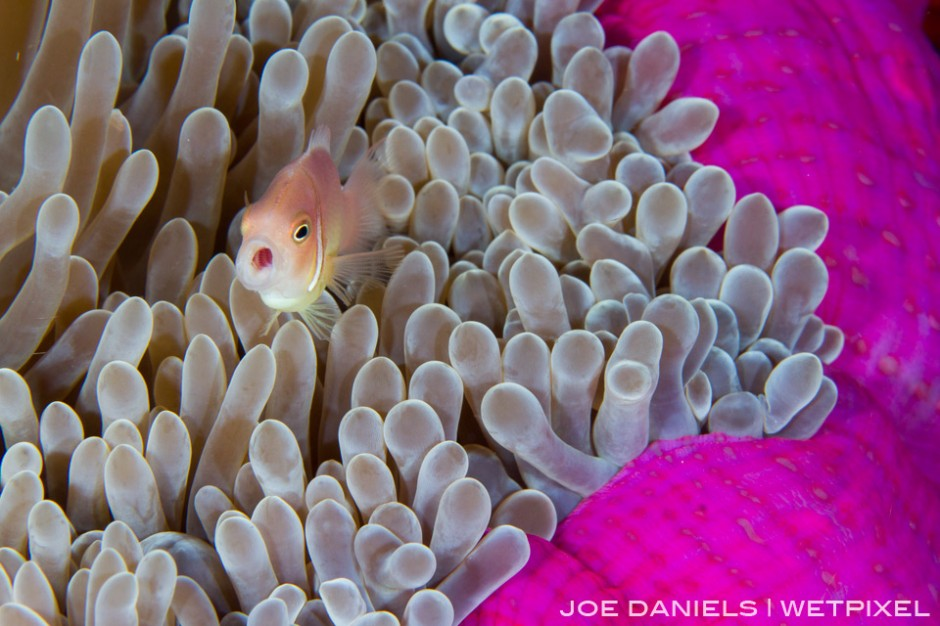 Magnificent Anemone's are a common sight around Kimbe Bay.