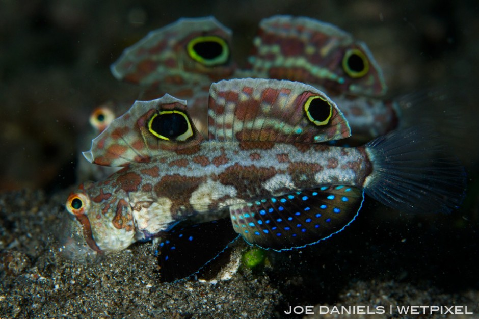 The Witu Islands host some world class muck diving. This pair of Twinspot Gobies were found on one of the black sand slopes.