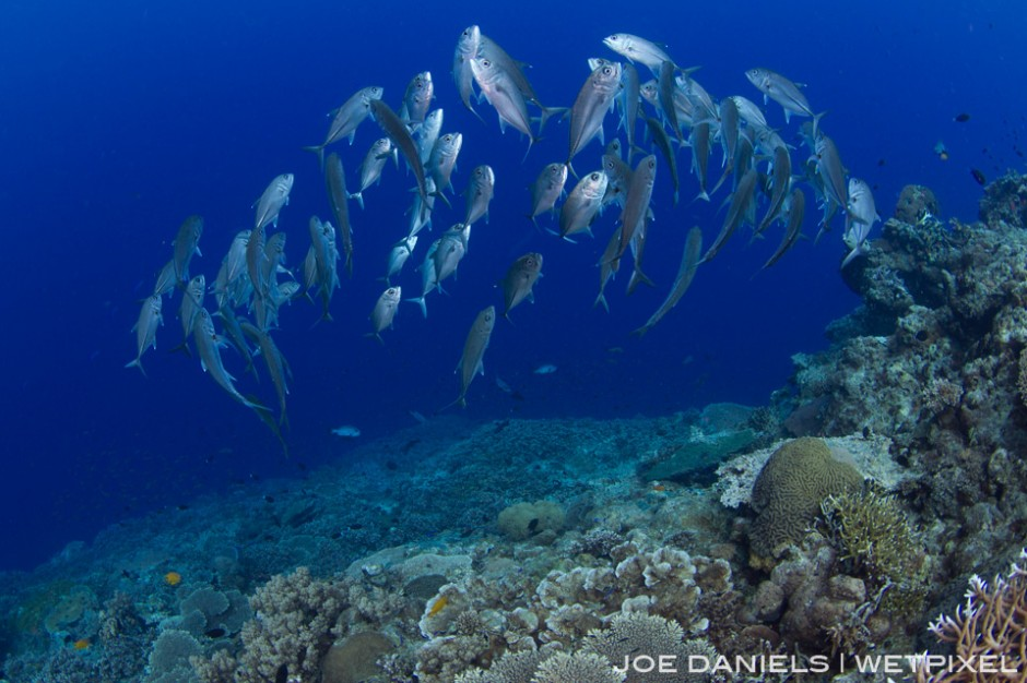 Schooling big eye jacks inhabit many of the sea mounts around Kimbe Bay.