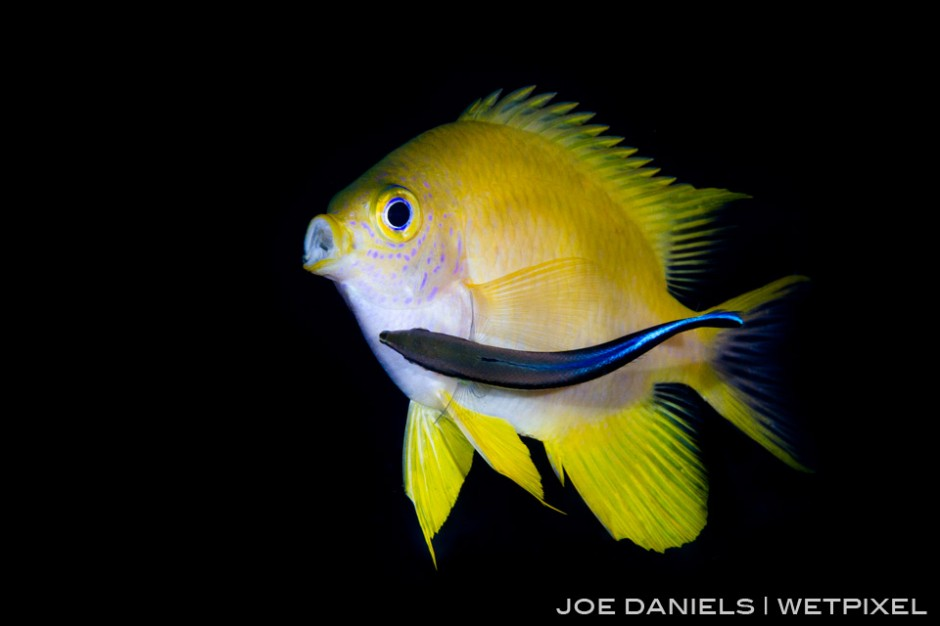 A golden damselfish (*Amblyglyphidodon aureus*) being cleaned by a bluestreak cleaner Wrasse (*Labroides dimidiatus*) on Fathers Reef.
