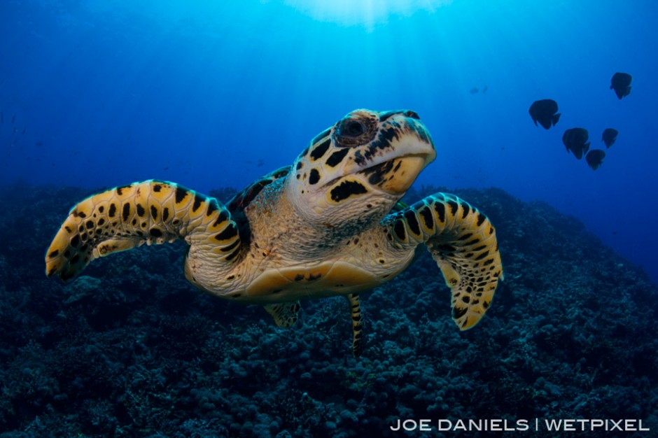 Many of the seamounts on Fathers Reefs are home to very friendly Hawksbill Turtles.