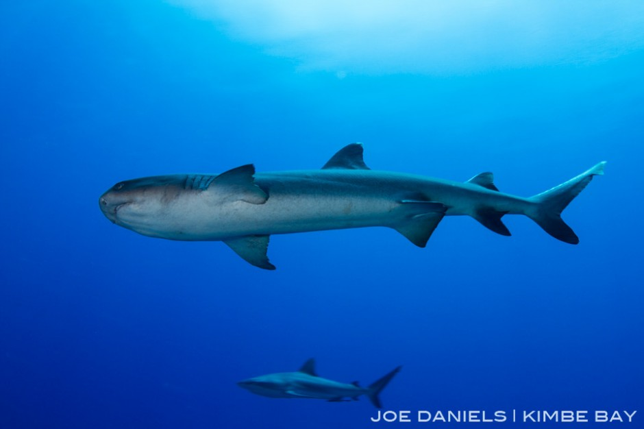 Due to low anthropogenic impacts Kimbe Bay still has healthy number of sharks. Here is a White Tip Reef Shark in the foreground and a Grey Reef Shark in the background.