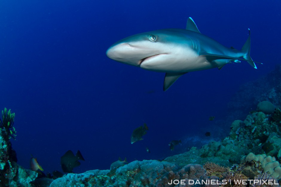 Silvertip Sharks are often seen cruising along the edges of the seamounts.
