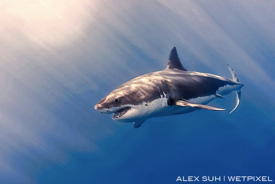 I love the sun and clear water in Isla Guadalupe unlike South Africa which usually has green waters. The rays in the water shine on the GWS.