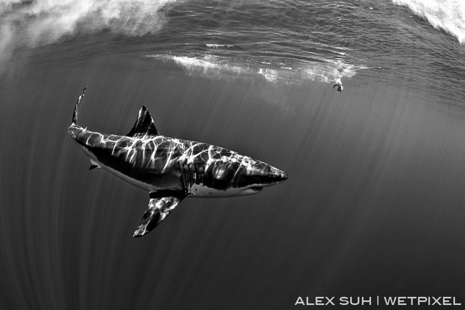 BW Image with the shark coming around to the chum. You can see the sun rays off its body.