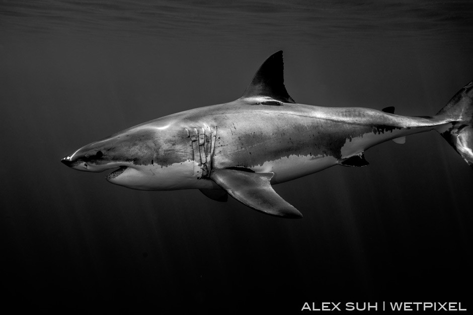 One of my favorite BW of a Great White passing by up close. No flash fired.
