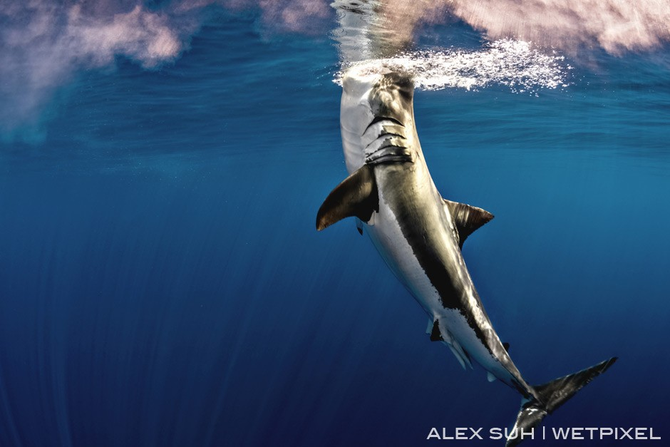 Ascending the surface from below, great whites will come from below a few hundred feet from the depth of the ocean to capture its prey and breach the water as this one has.