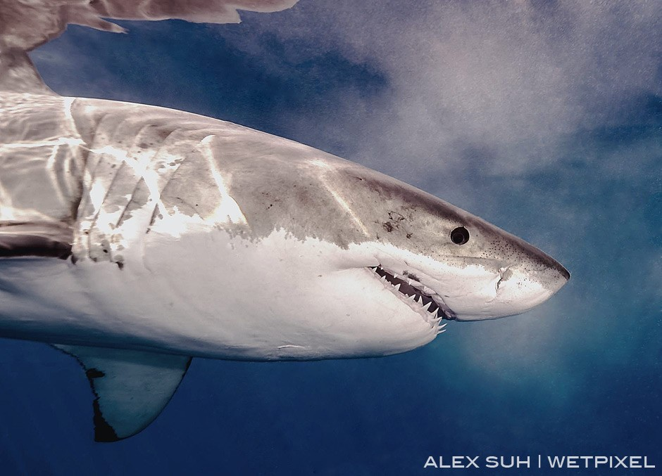 It's always exciting when a GWS passes by so close, you can see its eyes and pupils as they pass by.